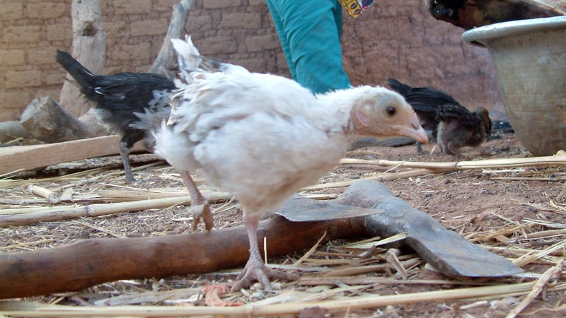 Chickens in Burkina Faso