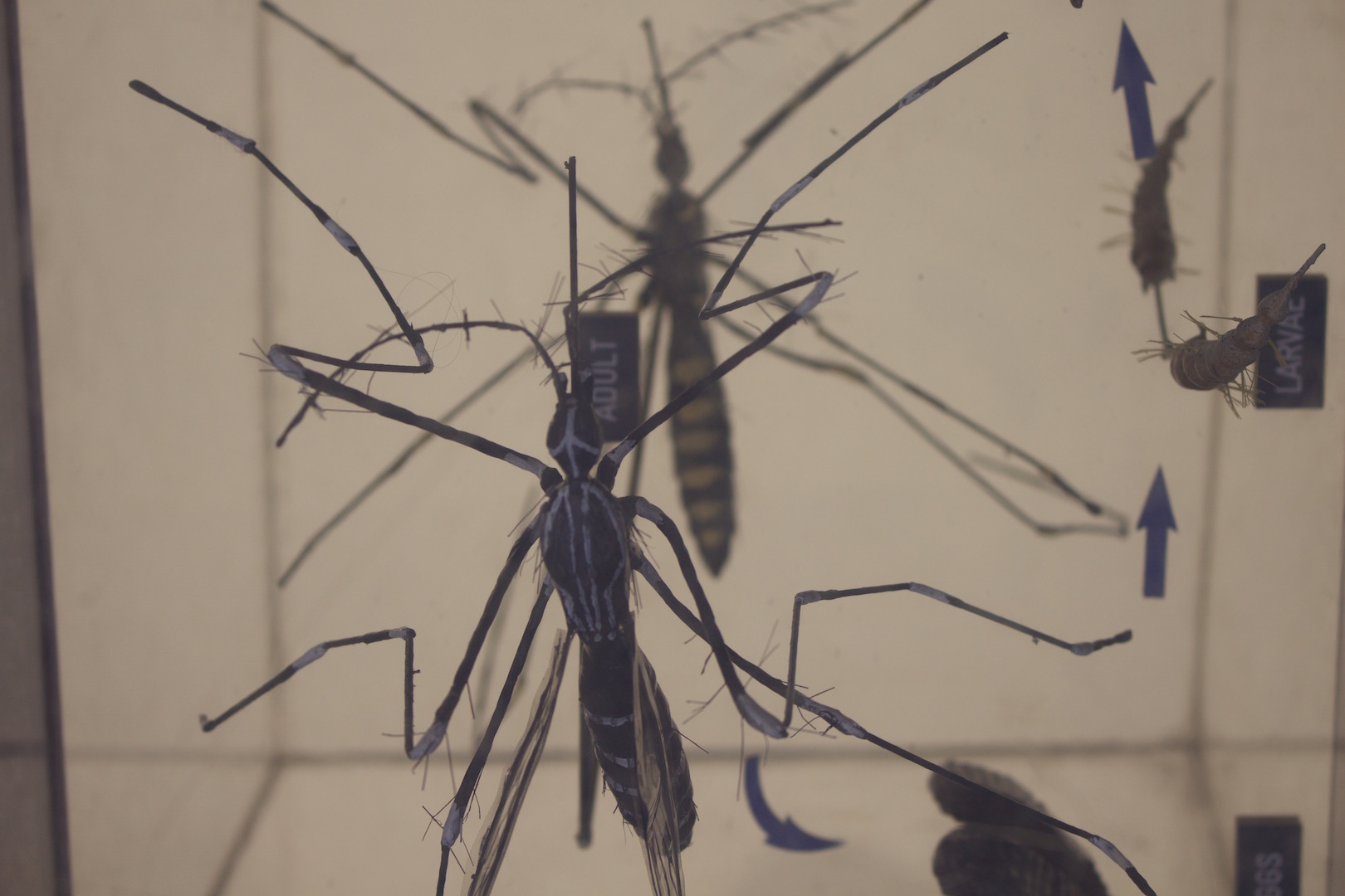 A model of an Aedes mosquito and its larvae used in public education programmes about dengue in Malaysia where it affected record numbers of people in 2015