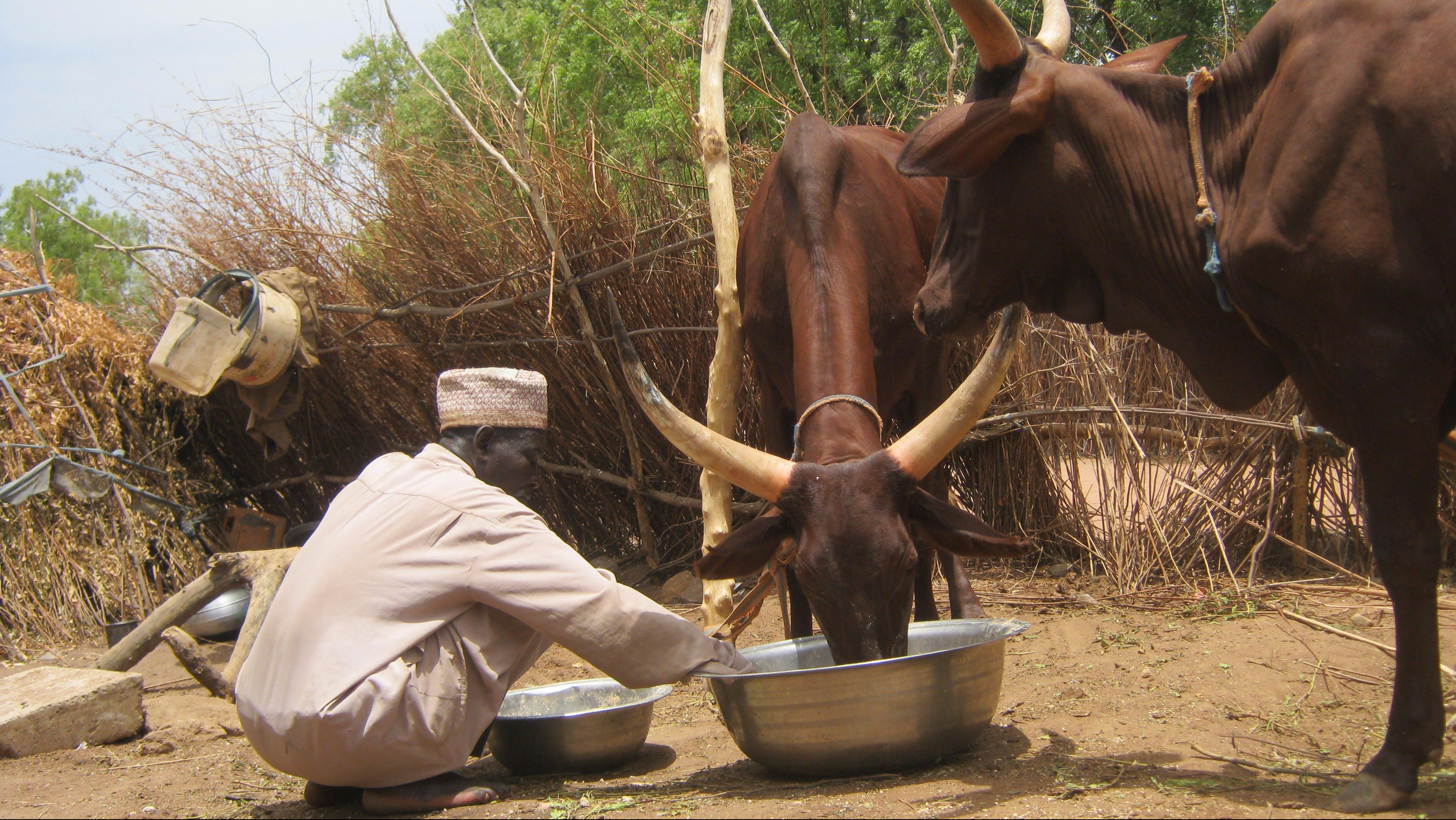 Bulama Buba Kadai feeds his remaining two cows. The rest of his herd, which included more than 100 head of cattle, was destroyed by Boko Haram.
