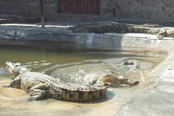 [Ethiopia] Five year old Nile Crocs in heated ponds at Arba Minch