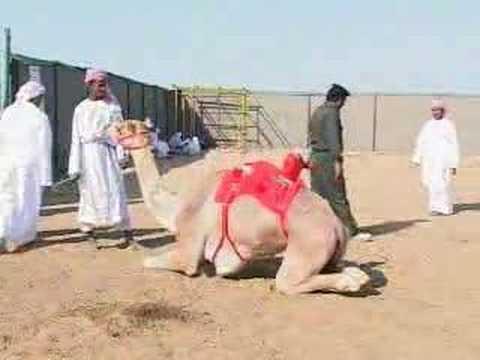 Robots replace children as camel jockeys in UAE