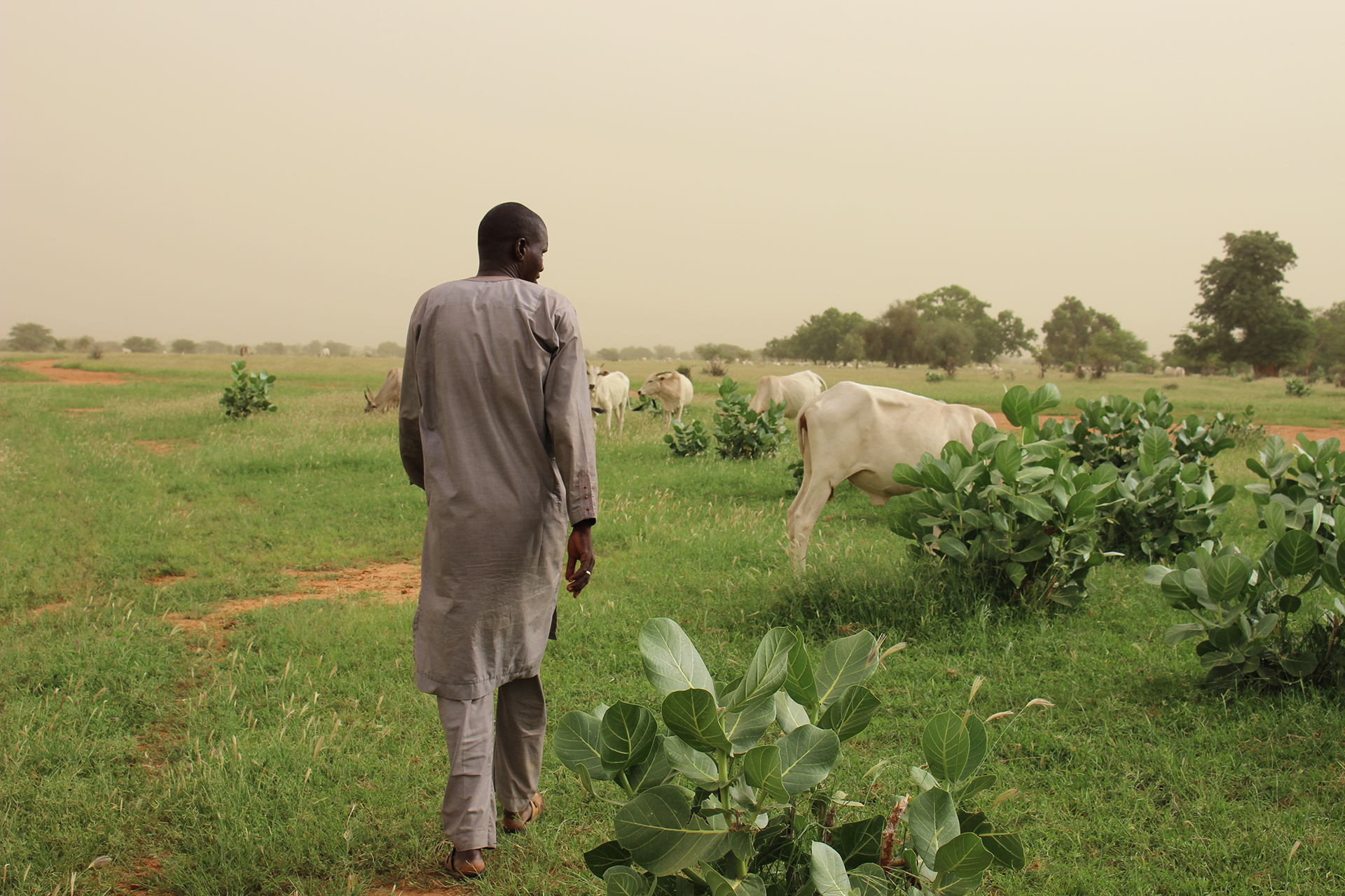 A Senegalese man walks away through low-lying greenery