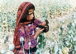 [Afghanistan] Young girl harvesting opium resin.