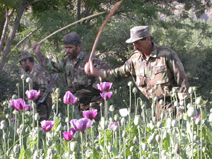 Afghanistan government-led eradication teams slash down poppy during harvest, Afghanistan, 2 August 2004. The interim government is trying to fight opium growth in Afghanistan but it faces a lot of opposition from the farmers .