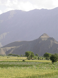 [Afghanistan] Wheat and poppy grow side by side but the value of wheat has fallen sharply.
