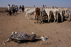 [Kenya] Desperate pastoralists lead their animals up to 100km to water, here at the desolate Arbajahan borehole, 460 miles north-east of Nairobi in Wajir district, only to see them die from exhaustion when they arrive. Wajir is arguably the epicentre of K