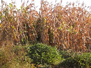 [Zimbabwe] Good rains have helped the maize crop. [Date picture taken: 05/02/2006]