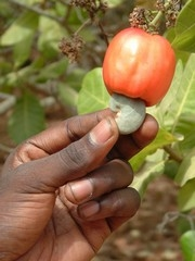 [Guinea-Bissau] A ripe cashew nut, growing under the cashew fruit. [Date picture taken: 05/27/2006]