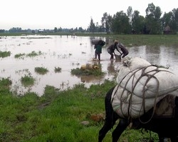 Men evacuate belongings, family and livestock from Bambiko village, near Lake Tana, Ethiopia, One September 2006. At least 630 people have died from the floods. According to UNICEF, families are facing multiple displacements as the river levels rise due t