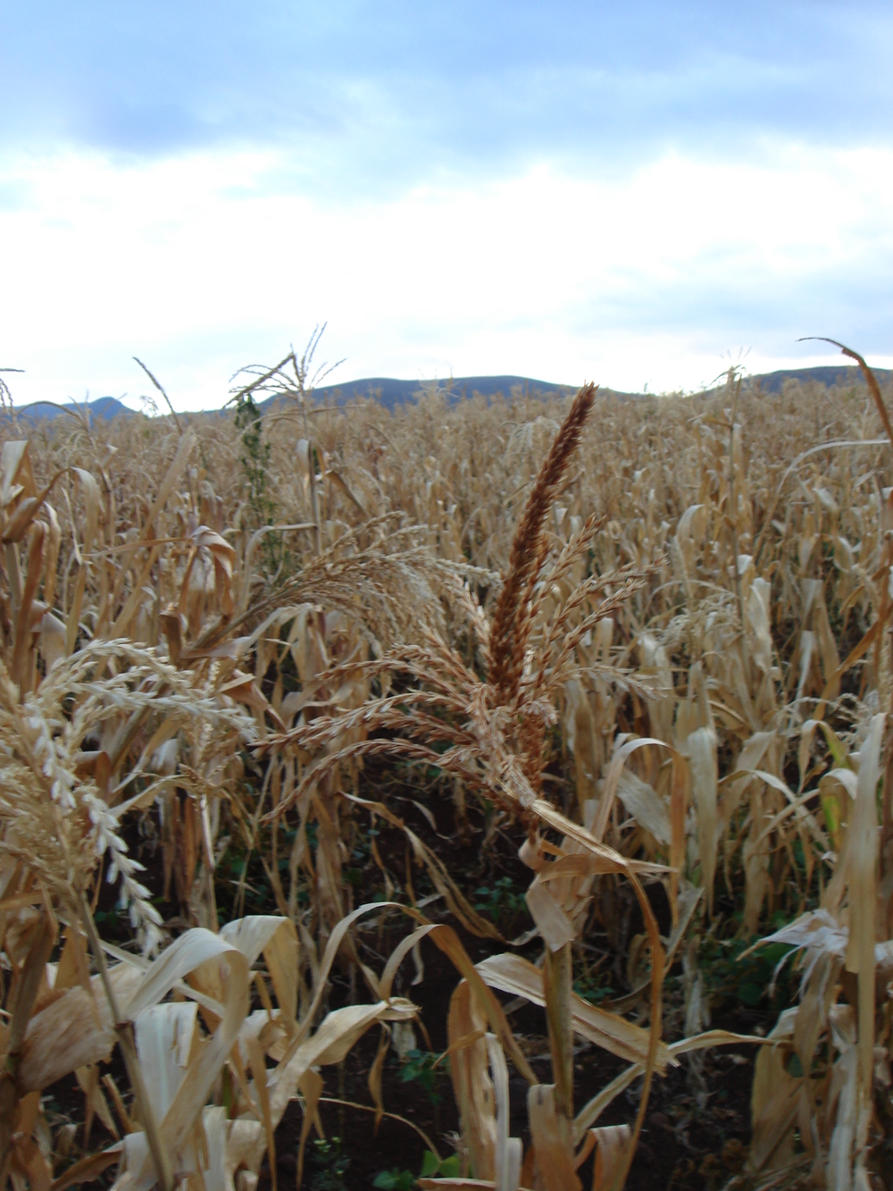 A long dry spell has wilted maize fields - drought 2006.