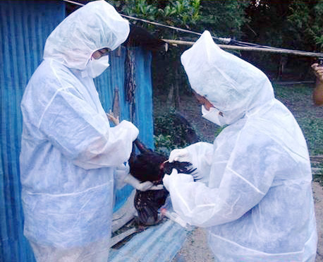 Thai veterinary officials check for avian influenza.
