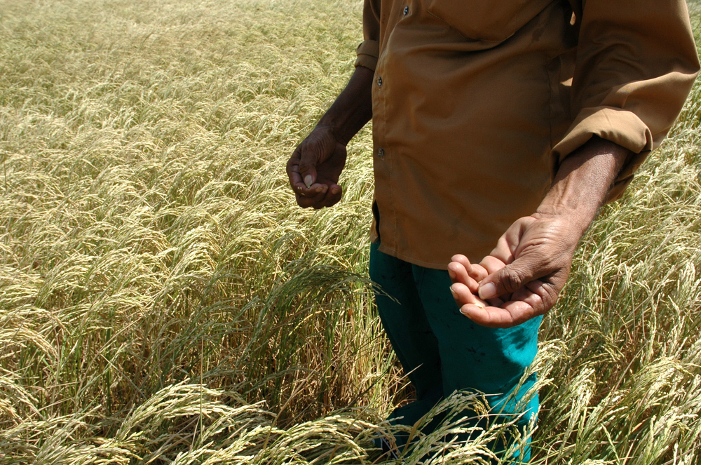 A farmer holds mature paddy ready for harvesting in eastern Sri Lanka. At least 2.5 percent of the harvest was left in ruins by torrential rains this March.