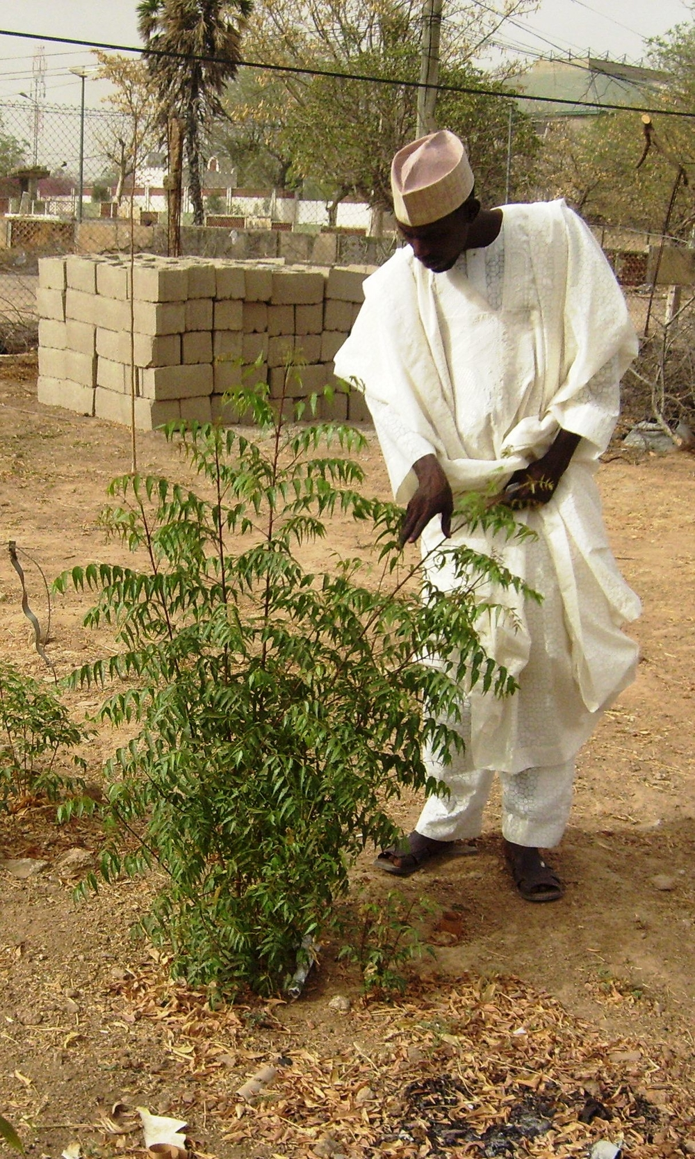 Man tends to a young neem tree in his compound in Kano.