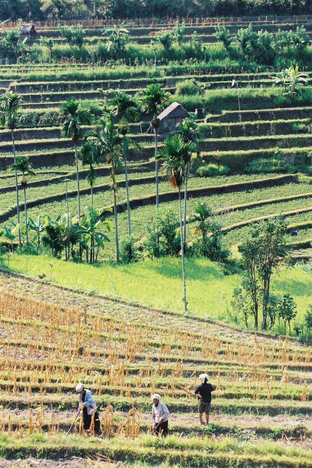 Indonesia is cutting exports in a bid to ensure sufficient rice supplies.