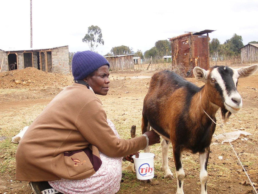 Susan Muthoni milks her prized goat, 'Chibi', donated by the ActionAid Kenya.