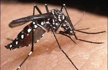 The 'Aedes aegypti' mosquito which is the carrier of dengue fever