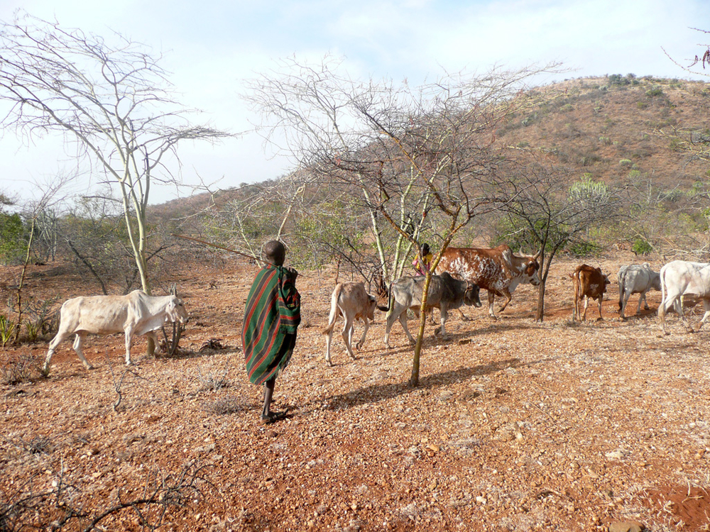 Armed cattle raids commonplace in Karamoja