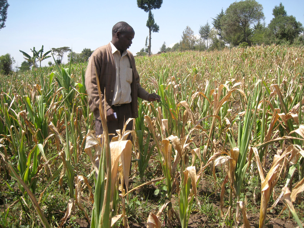 A crop production officer from the Ministry of Agriculture examines stunted maize at a farm in Njoro district in the Rift Valley Province. The district has experienced over 90 percent maize crop failure following poor and erratic long rains between March