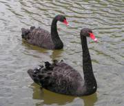 Swans were assumed to be always white, until the discovery of black swans in Australia