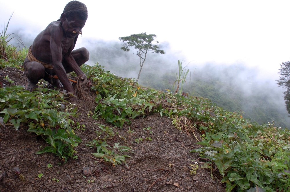 A local Papuan man tends to his sweet potato plants on a hillside in Papua