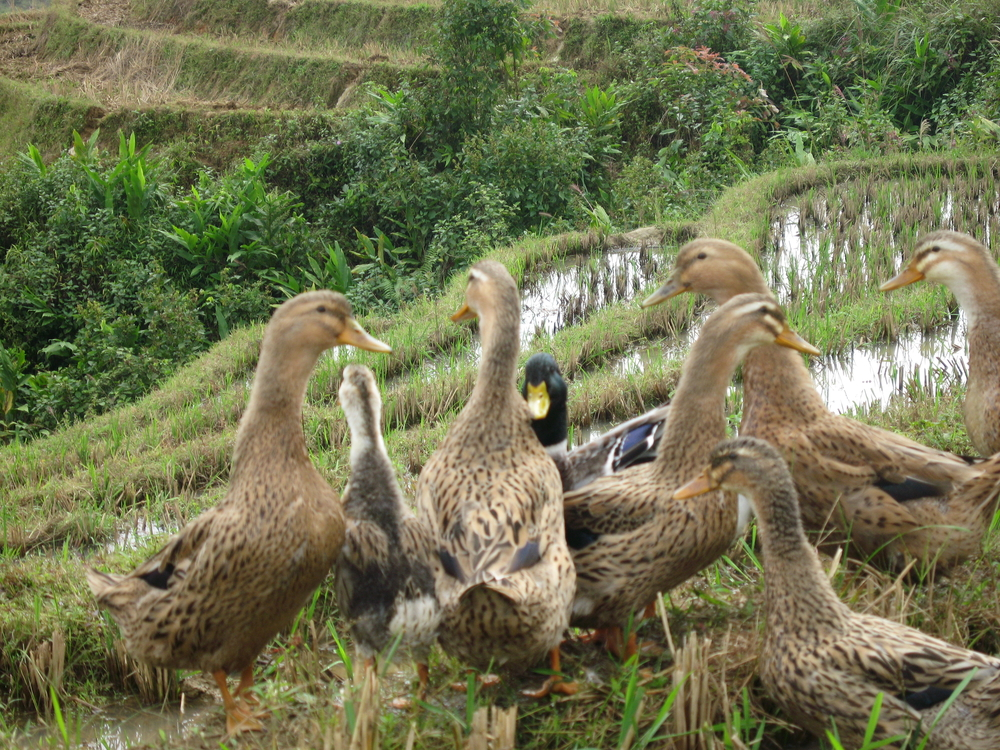 A group of ducks in rural Vietnam. Close to 60 people have died from bird flu in the country