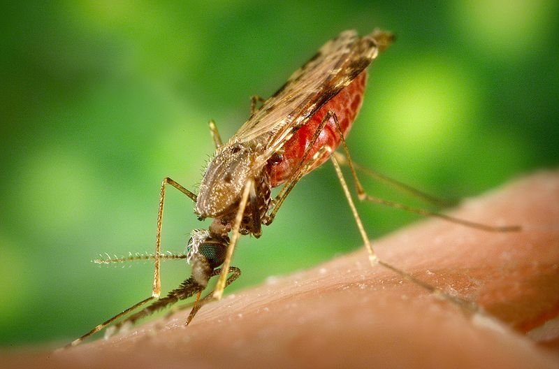 A female Anopheles mosquito feeding on a human host. The number of malaria cases remains dramatically lower than 12 years ago