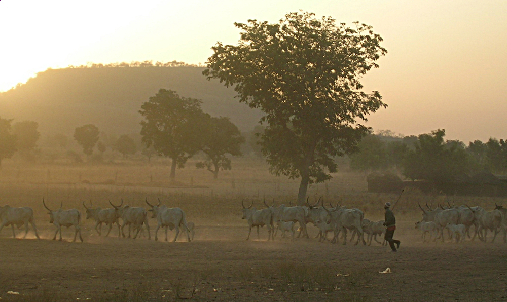 A Fulani man guides his herd (file photo)