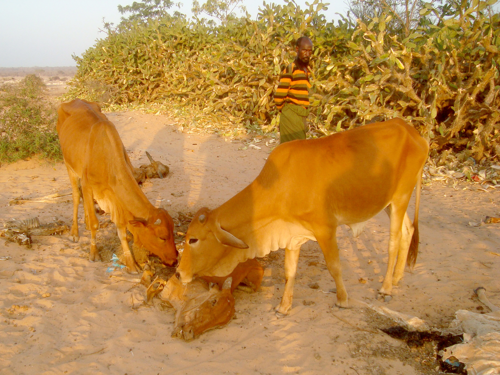 Cows eating the entrails of a dead cow, in drought-stricken central Somalia