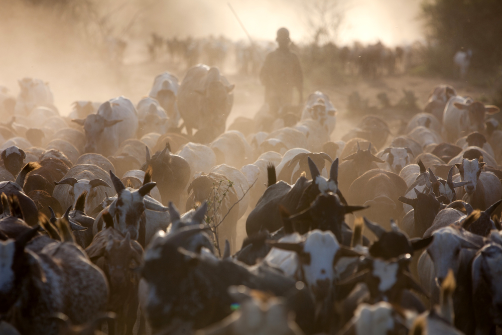 Turkana herdsmen with their cattle in northern Kenya