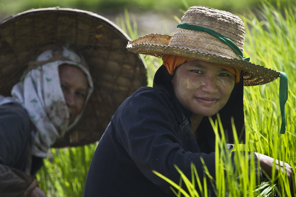 Rice farmers look on as they prepare plants in a field near Mai Sariang, Thailand. Thailand is currently the world's top exporter of rice and is the fit larger cultivator of rice in the world.  Rice production takes up 55 per cent of Thailand's arable lan