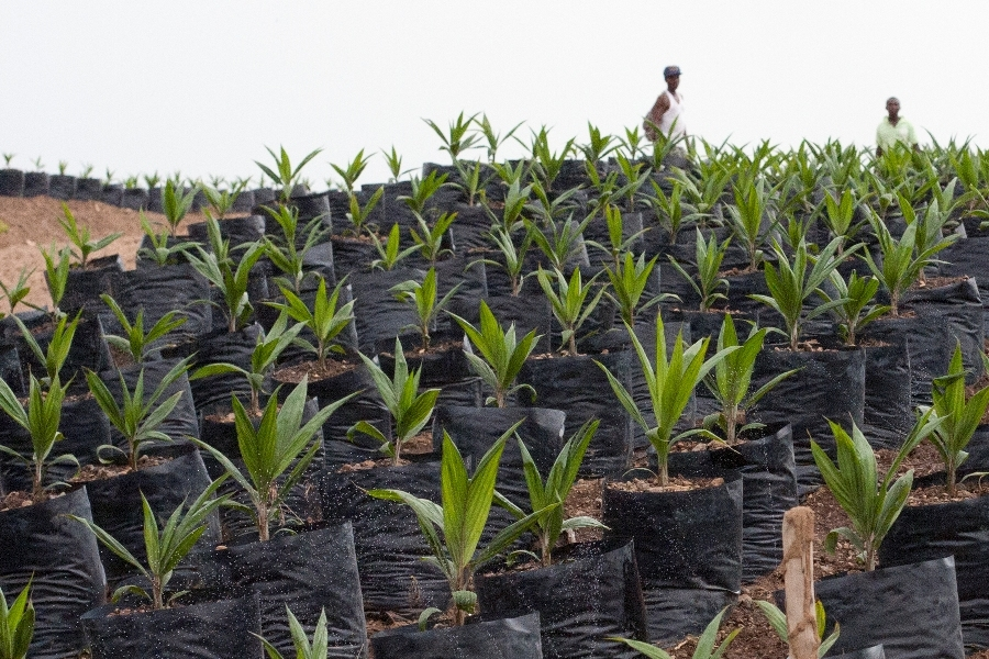 A nascent oil palm plantation in southeastern Sierra Leone owed by Socfin Agriculture Company, which in March 2011 signed a 50-year lease with the government of Serra Leone to produce palm oil on 6,5000 hectares of land