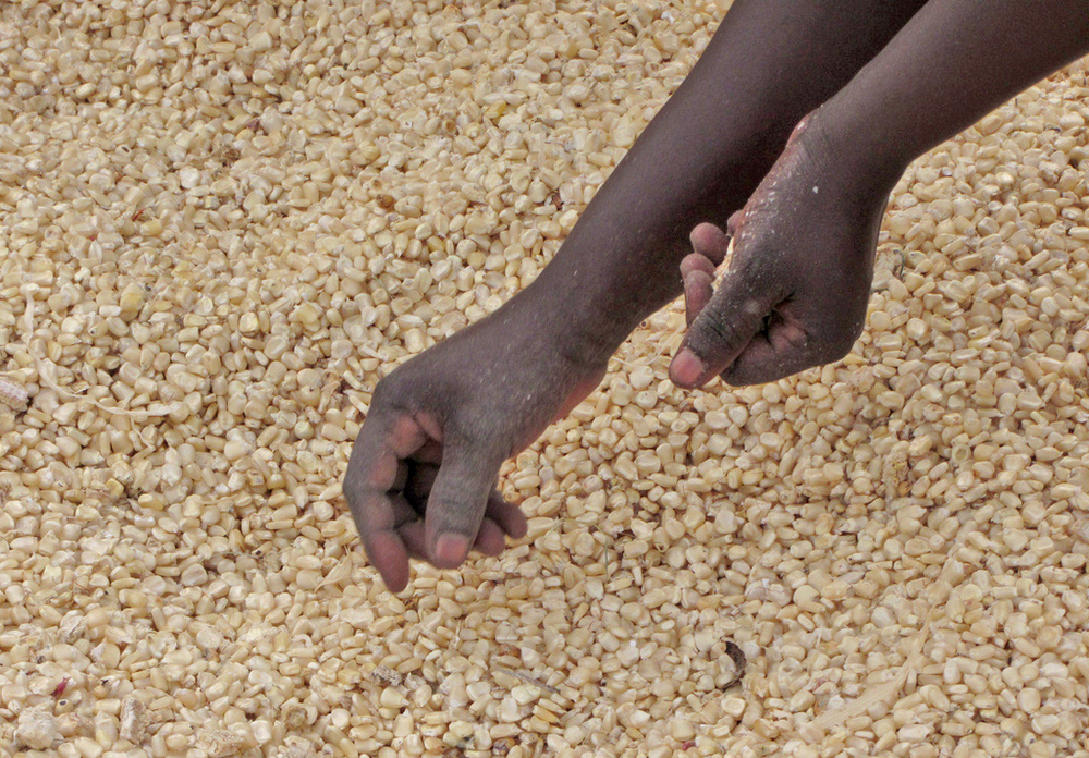 Maize seed. For generic use