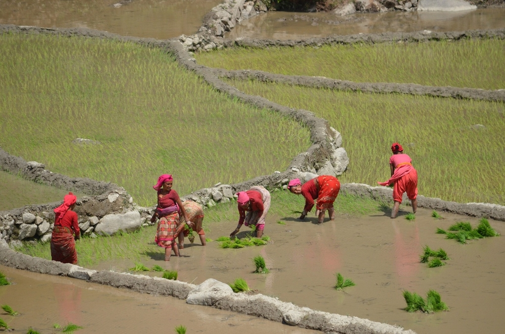 A group of women working the fields in Banke District in Nepal's Mid-Western Region. About 80 percent of the population is dependent on agriculture as their source of livelihood (June 2012)
