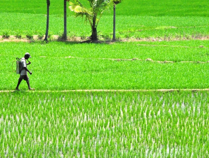 Sri Lanka's paddy cultivation regions have shown a high prevalence of chronic kidney disease