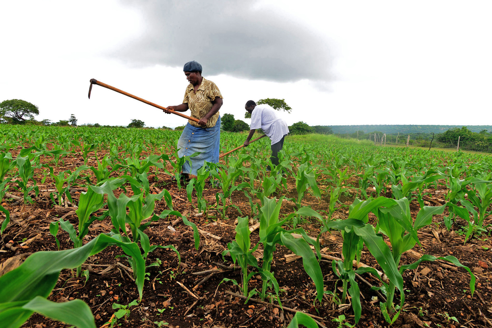 Smallholder farmers from Swaziland's eastern Lubombo District are using conservation techniques to grow crops other than maize