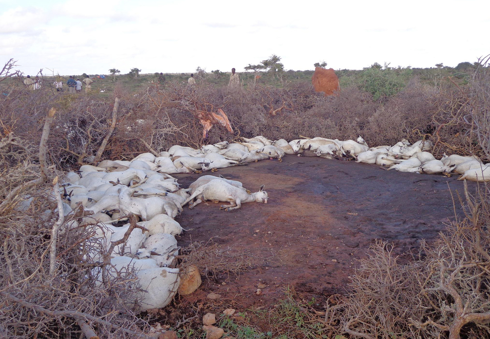 Many livestock deaths were recorded after the cyclone