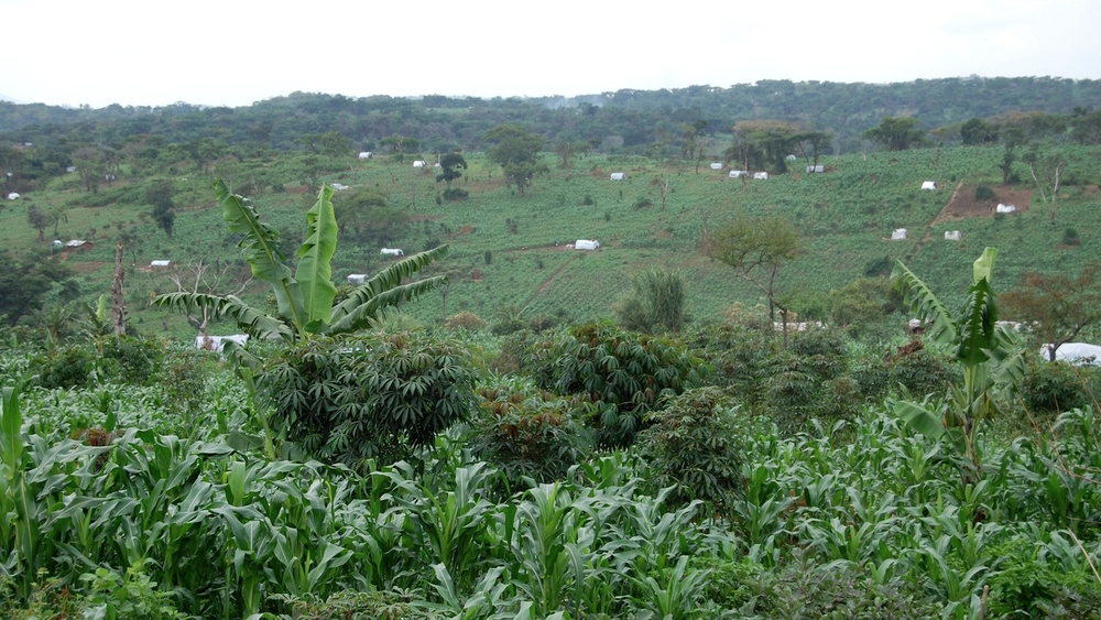 Maize crops growing in Rwamwanja refugee settlement, Uganda