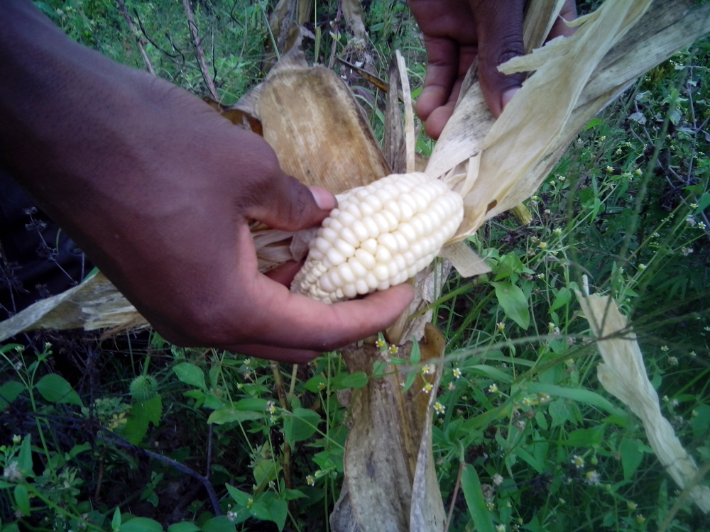 Impact of a long dry spell on maize in Mhondoro-Ngezi district, about 160km south of the capital, Harare