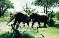 [Swaziland] Two elephants from Hlane Royal Game Reserve