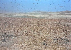 [Afghanistan] Locust infestation in northern Samangan province.
