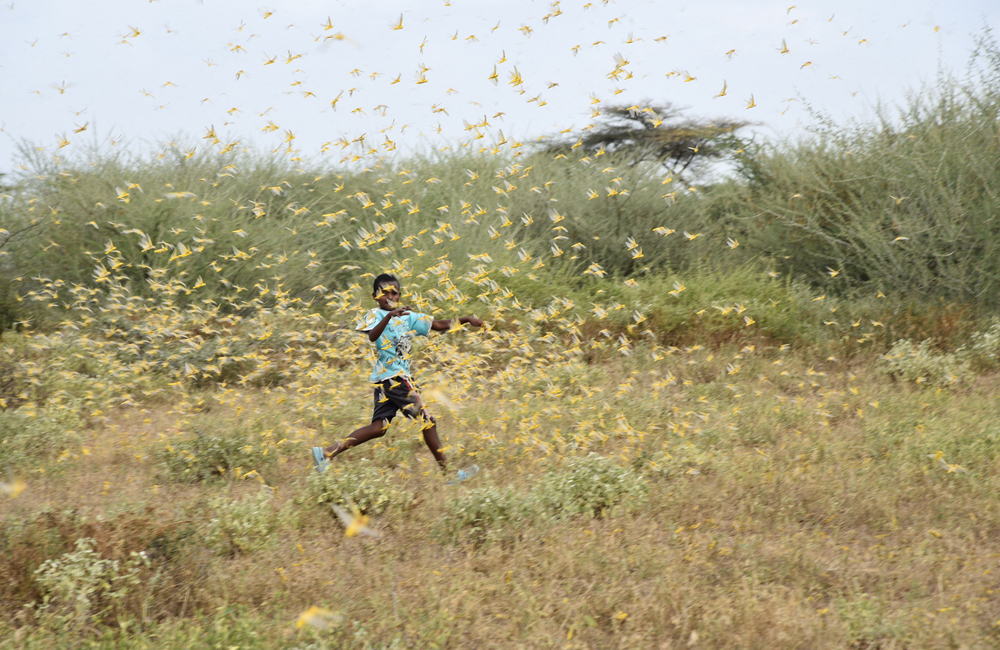 Locusts arrive in Isiolo, northeastern Kenya.