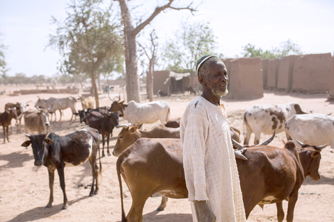 A man in a white top stands in front of cattle