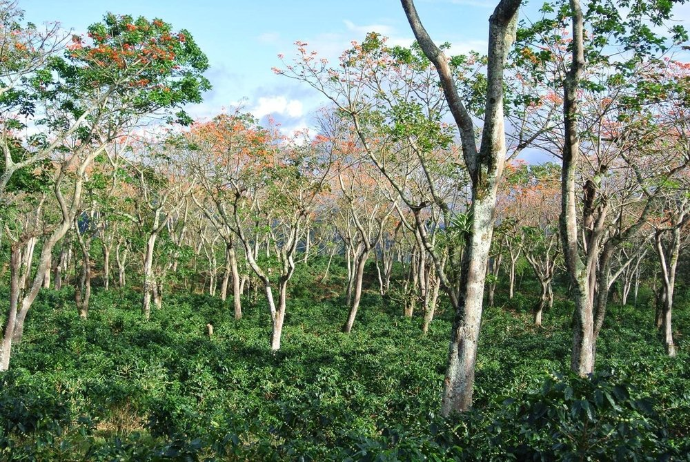Shade trees over coffee plants