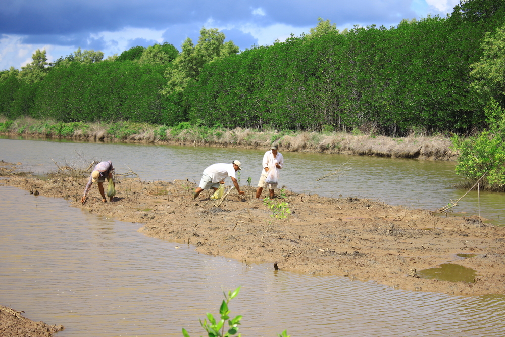 Farmers plant mangroves in their shrimp pond in Vietnam's Ca Mau Province in May 2014