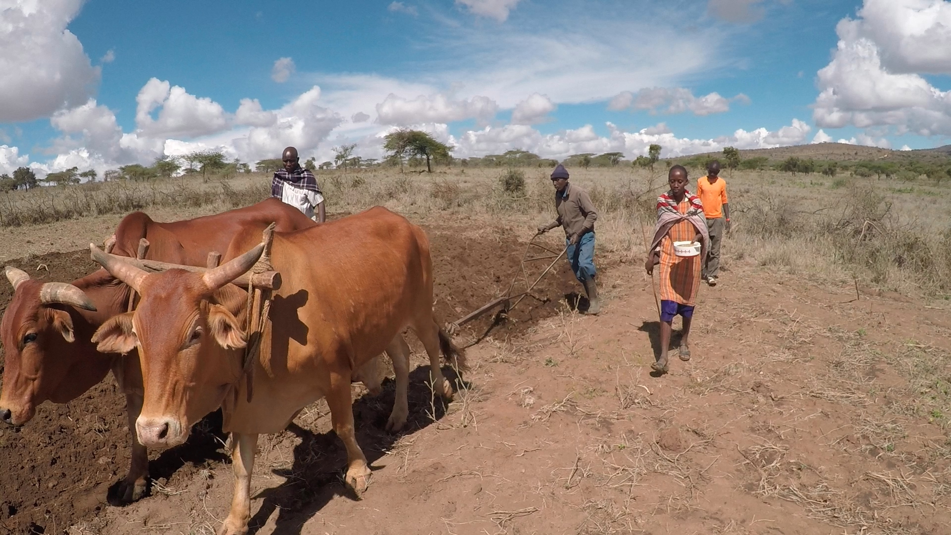 Cows pull plough on maize field