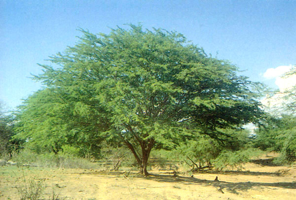 Prosopis juliflora tree