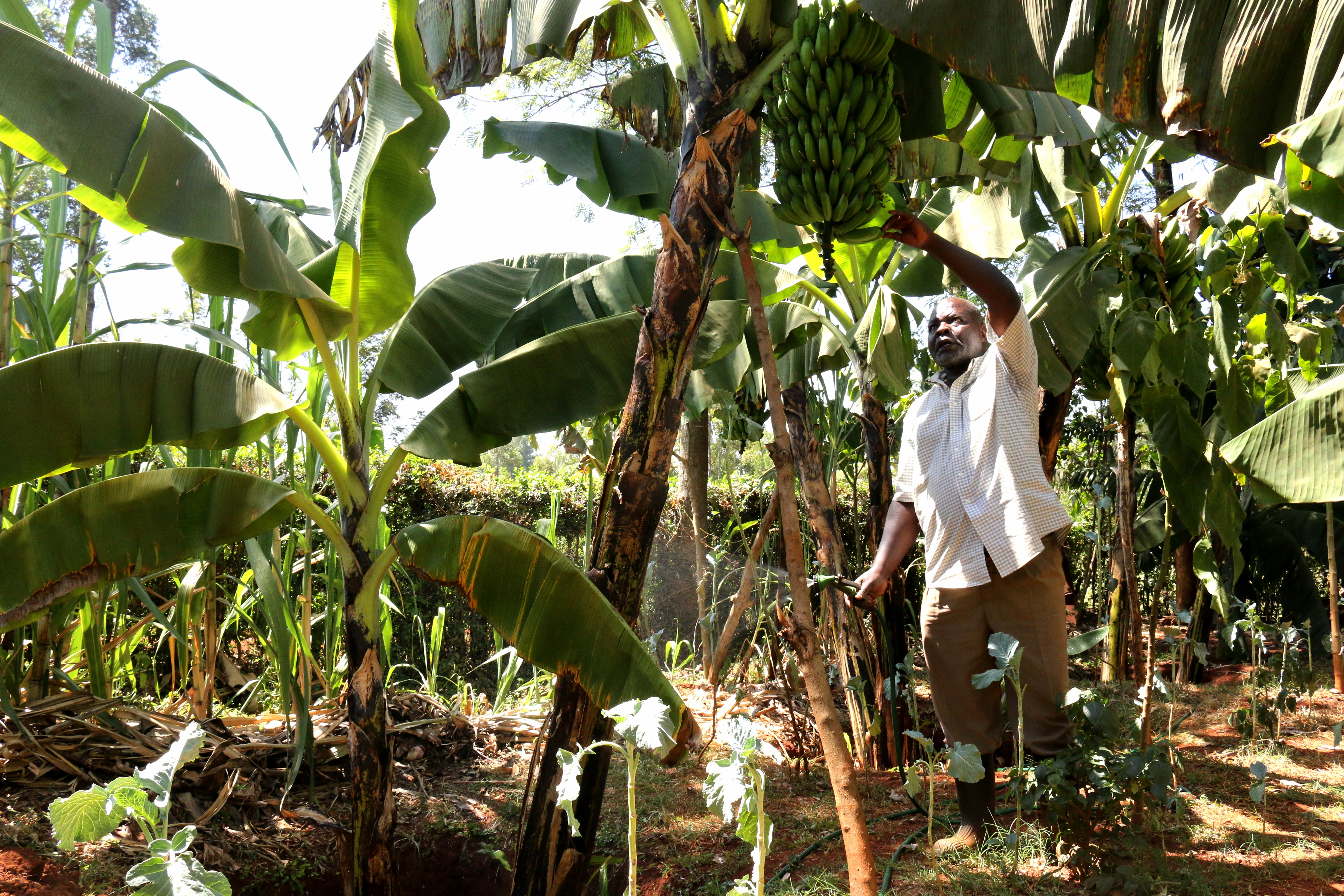 Banana grower, Kakamega, Kenya