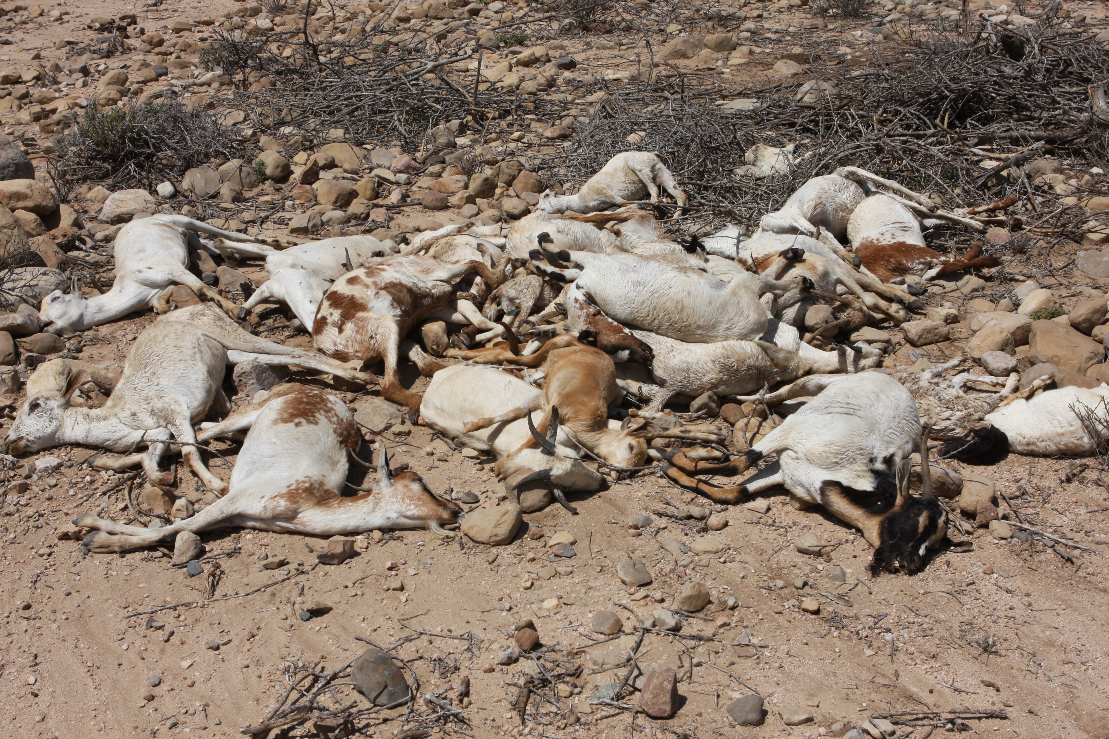 Goats succumb to drought and cold