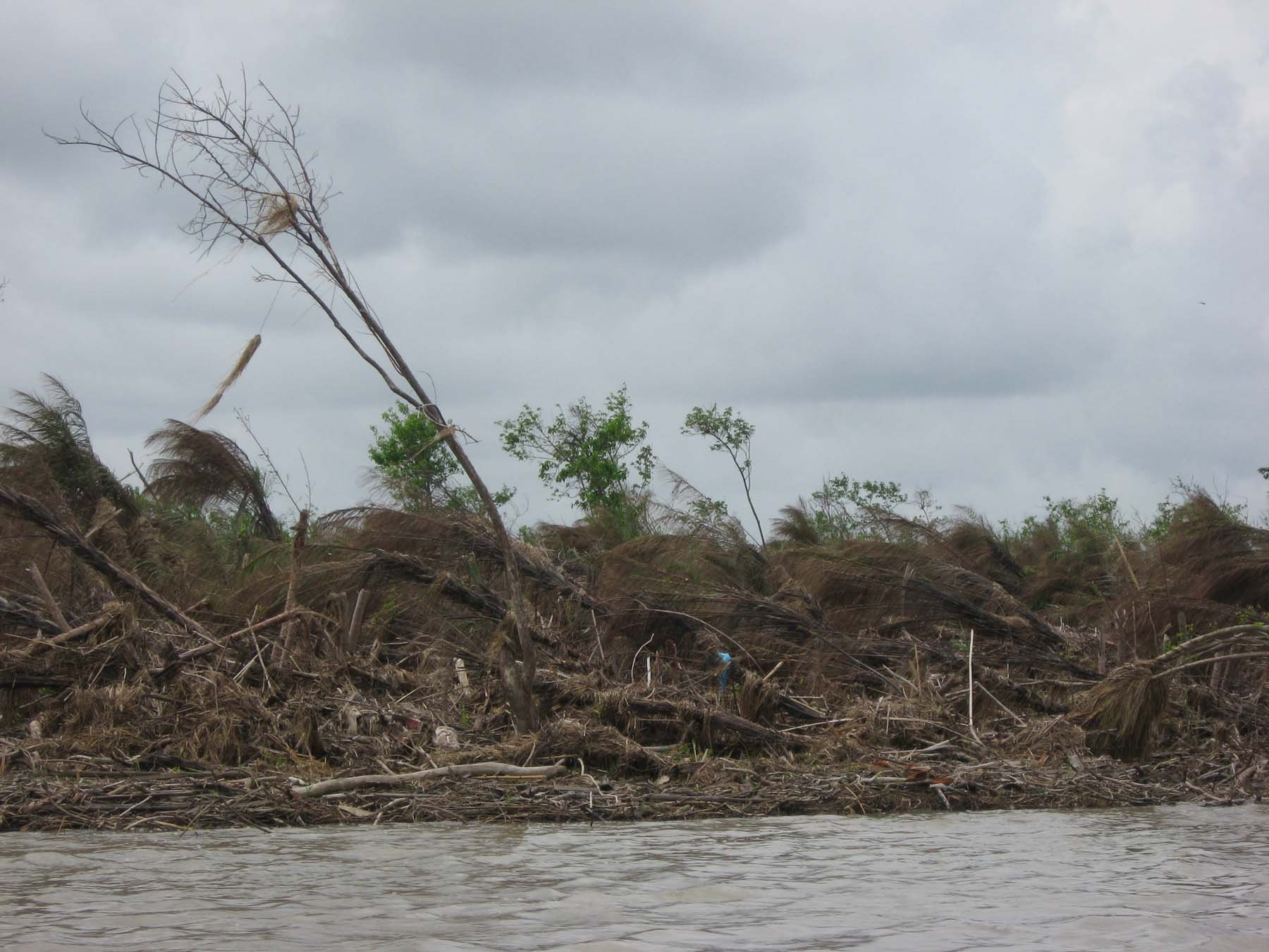Scene of mangrove forest on Mainmahla Island in Bogale Township after Cyclone Nargis