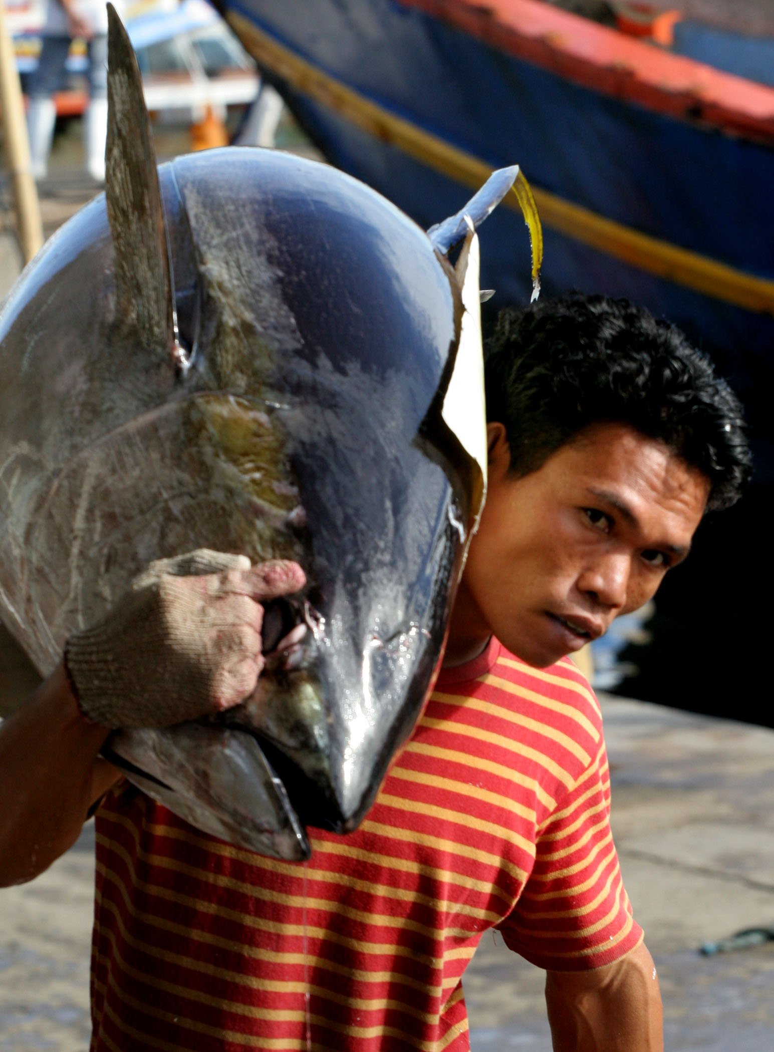 A fisherman hauls a huge yellow fin tuna on his back. Dwindling catch of the fish that sustains a community of over half a million people in General Santos is being blamed on sudden sea temperature changes due to global warming